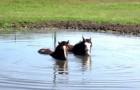2 Pferde genießen ihr Bad, aber... schaut mal was sie mit dem Maul machen. So schön!