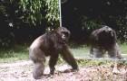 Mettono uno specchio nella foresta africana: la reazione di questi scimpanzé è scioccante