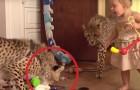 Deze twee jachtluipaarden zijn geadopteerd: hoe ze omgaan met de kinderen is prachtig om te zien