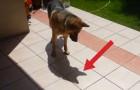 Un pastor aleman descubre su sombra: su reaccion es de verdad divertida!