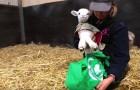Poner una oveja en una bolsa puede parecer absurdo, pero la verdad es conmovedora