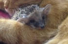 Video  Hedgehogs