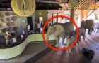 A herd of elephants enters the resort: each year their behavior surprises the guests
