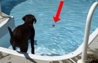 He manages to make his FIRST swim in the pool: the reaction of this Labrador will make you smile !