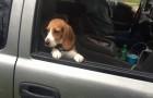 El cachorro tiene las patas sobre la ventanilla...cuando la suben la reaccion es tan graciosa