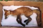 He's about to bury a fox, but what happens shortly after it MIRACULOUS