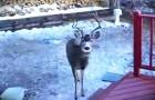 Un cervo si spinge fin sul portico di questa casa, ma la vera SORPRESA arriverà poco dopo!