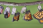 Farfalle Monarca: godetevi passo passo la metamorfosi della bellezza