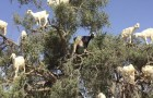 If you think that the photo of the goats on the tree is fake, you have to watch the VIDEO ...