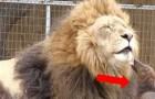 Un leone nato con disabilità incontra un bassotto: il risultato è oltre ogni immaginazione