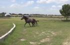 Le petit cheval ne sait pas comment dépasser le mur, sa maman va l'aider et c'est magnifique!