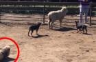 2 chiens de berger poursuivent un mouton, mais regardez le petit bout de chou à gauche...