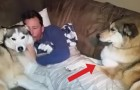 Un homme fait des câlins à un des chiens, mais regardez ce que fait celui de droite