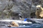 A baby polar bear falls into the icy water, but his mommy is there to rescue him !