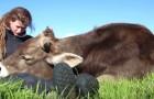 Um touro apoia a cabeça nas pernas de uma mulher... O seu comportamento é incrível!