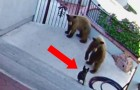 2 bears approached a house, but what this tiny bulldog did, caught them by surprise!