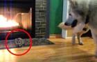 Er bringt eine kleine Katze nach Hause. Die erste Begegnung zwischen Hund und Katze ist unerwartet
