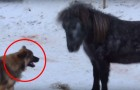 When the dog approaches this horse, what happens is priceless ...