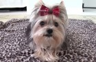 Elle entraîne son chien : ce qu'il réussit à faire aujourd'hui est stupéfiant!