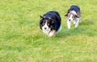 Veem o seu cão que se move em maneira estranha... não perca o que acontece no fim!