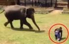 Mannen som tar hand om honom faller på marken: elefantens reaktion kommer att ge er rysningar