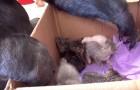 Un gorille est devant une boîte avec des chatons: regardez bien sa main...