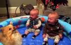 Quand ce Spitz nain commence à sauter, la réaction des jumeaux surprend même la maman!