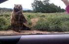 L'orso che saluta