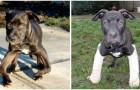 Un cucciolo abbandonato in un parco torna a camminare perfettamente grazie all'uomo che lo ha adottato