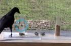 Questo corvo non può raggiungere il cibo nel tubo, ma poi trova una soluzione geniale
