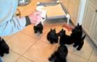 Ze geeft haar pups te eten, de reactie van de pups doen ook haar versteld staan!