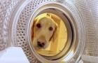 Een hond wandelt naar de wasmachine... wat hij van plan is zal je doen glimlachen