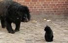 Un gatto entra nel recinto di un orso: quello che succede sfida le leggi della natura