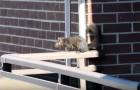 Vanaf een balkon op de 21ste verdieping filmen ze een eekhoorn: kort daarna SCHREEUWEN ze het uit!