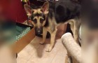 This German shepherd is visibly confused ... why? It will make you smile!