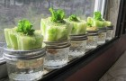 He puts the base of the lettuce in a glass of water. Shortly after? WHOA!