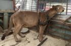 Un puma vit enchaîné pendant 20 ans dans un cirque: voici ses premiers pas dans la forêt
