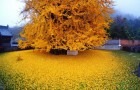 Da 1400 anni questo albero regala ogni autunno uno spettacolo mozzafiato