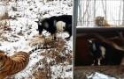 Ze gaven deze tijger een geit om op te eten, maar de tijger reageert anders op deze maaltijd als verwacht...