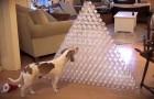 Il padrone gli ha costruito una piramide di bottiglie: la sua prossima mossa è deliziosa!