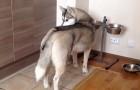 Mentre mangia, un husky viene