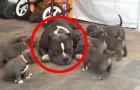 9 Welpen stürzen sich auf einen großen Pit Bull. Seine Reaktion ist wunderbar