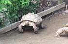 Une tortue est bloquée: ce que fait son amie est INCROYABLE!