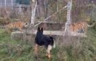 El perro corre en busca de los tigres, pero los gatitos reaccionan como no se esperaban nunca!