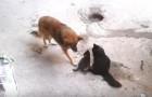 Mama gata presenta sus gatitos a un vecino amigo...Su reaccion no tiene precio