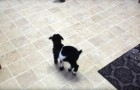 A baby goat tries to jump for the first time ... irresistible !