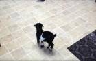 Dit kleine geitje probeert voor de eerste keer te springen... zijn schattige pogingen zijn onweerstaanbaar!
