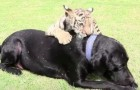 A tiger cub was abandoned by his mother, but this Labrador does will melt your heart!