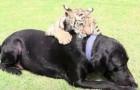 Een tijgerwelpje is verstoten door zijn moeder, maar wat de labrador doet, zal je hart doen smelten
