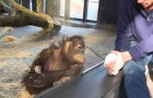 Le muestra a la chimpance un truco de magia, pero su reaccion lo toma de sorpresa